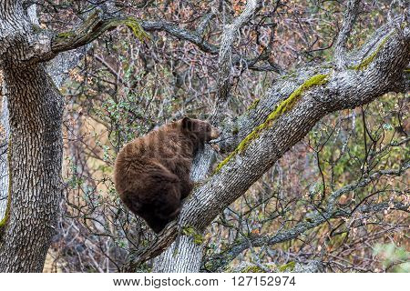 Bear in Sequoia National Park in California