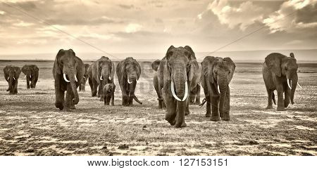herd of elephants walking group on the African savannah at photographer