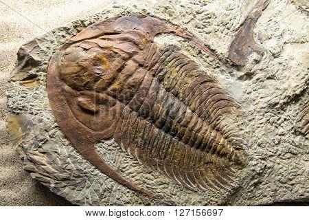 Jurassic Fossilized,  prehistoric, pyrite, regis, jurassic, fossil