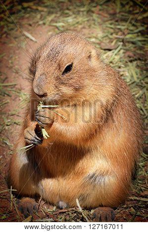 Furry brown prairie dog munching his lunch