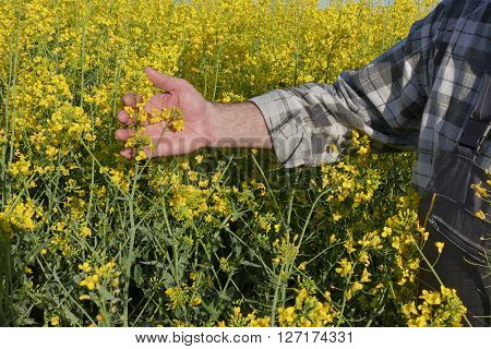 Farmer In Blossoming Canola, Oil Seed Field
