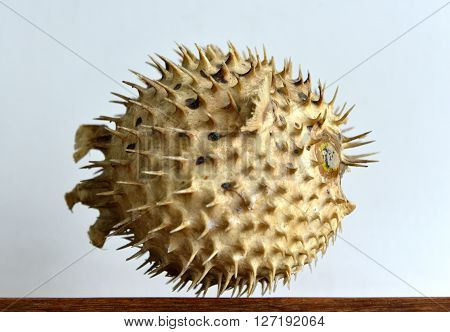 Dried and preserved antique puffer fish (tetraodontidae) specimen.