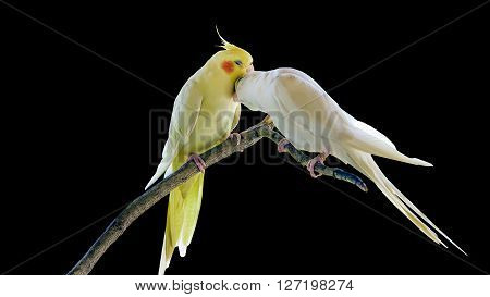 Cockatiel parrots in love standing at the branch on black background
