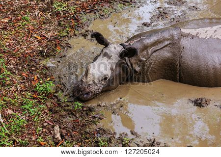 Rhino is eating the grass in the wild, Chitwan national park, Nepal