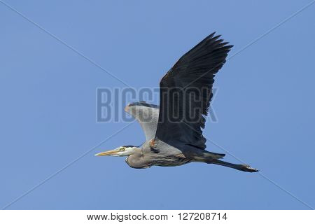 Heron with wings spread in sky. A great blue heron flies gracefully up in the sky in north Idaho.