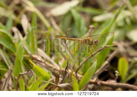 Variable Sentinel dragonfly is resting on a twig