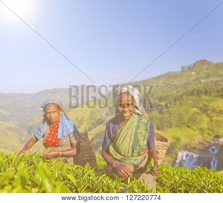 Two Tea Pickers Smile As They Pick Leaves Concept