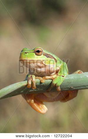 Green Tree Frog on a reed leaf (Hyla arborea)