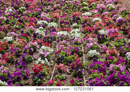 A coloured flowerbed made with many petunias