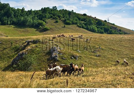 Brown and white goats on a meadow at summer sunny day, Pester plateau, southwest Serbia