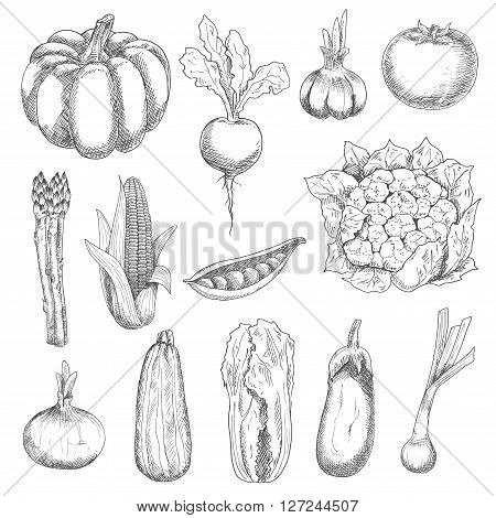 Healthful locally grown fresh corn cob, tomato, sweet peas, garlic, eggplant, pumpkin, zucchini, beetroot, onion, chinese cabbage, cauliflower, scallion and asparagus vegetables engraving stylized sketches. Agriculture harvest and organic farming design u