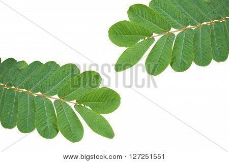 fresh green Ringworm Bush leaves on white background