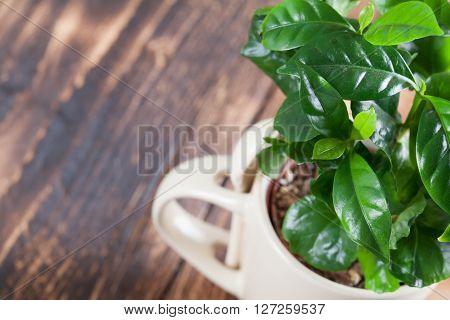 Coffee plant seedlings in a mug. Shallow dof