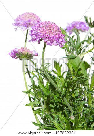 Pincushion Flowers On White
