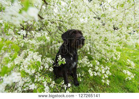 Beautiful black dog posing at spring tree in blossom, close-up.