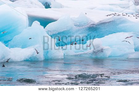 Arctic tern (Sterna paradisaea) fishing amongst the icebergs in Jokulsarlon Glacial outflow lake in southern Iceland