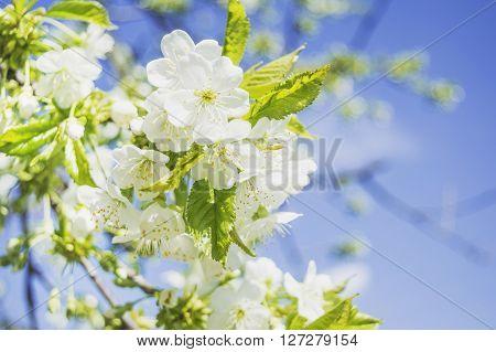 Spring flowering tree branch sky blaming flowers close up