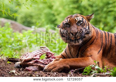 Sumatran Tiger Eating Its Prey