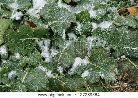 Field oilseed rape in winter. Winter frost on leaves.