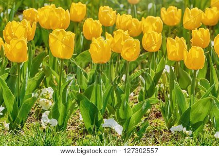 Flower Bed of the Yellow Tulip Flowers