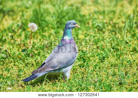 Big Common Wood Pigeon in the Grass