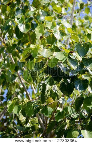 close up fresh Ficus religiosa leaves in nature garden