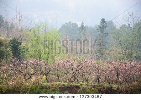 The blossoming peach flowers scenery in spring