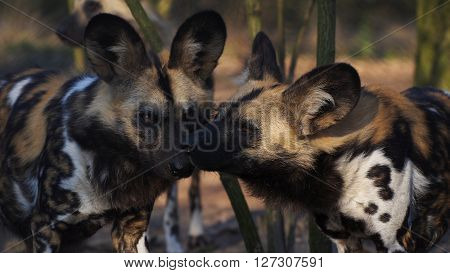 Two African wild dogs kissing each other