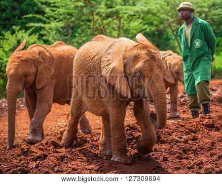 NAIROBI KENYA - JUNE 22 2015: Sheldrick Elephant Orphanage in Nairobi (Kenya) - one of the workers observing young orphant elephants playing in the mud