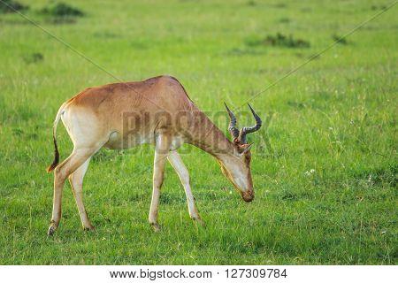 Hartebeest (antelope) grazing in the Maasai Mara national park (Kenya)