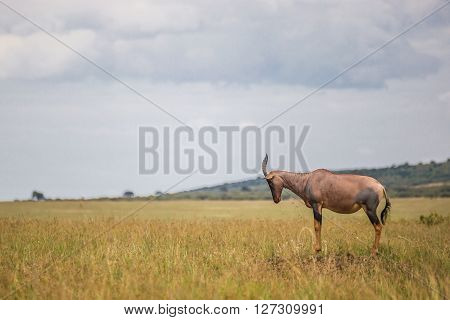 Hartebeest (antelope) in the Maasai Mara national park (Kenya)