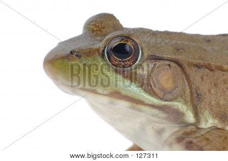 Wood Frog, Rana sylvatica (macro, isolated, 12MP camera). poster