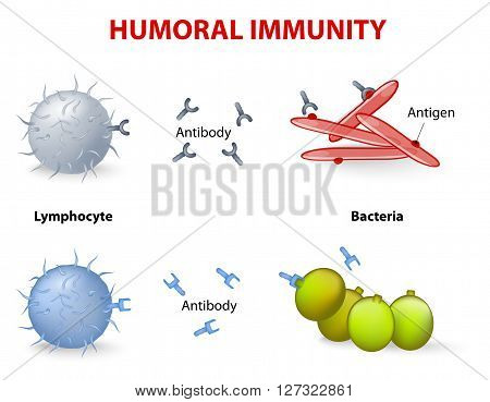 humoral immunity. Lymphocyte antibody and antigen. Vector diagram poster