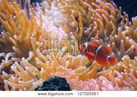 Amphiprion Ocellaris Clownfish In Marine Aquarium With Anemones