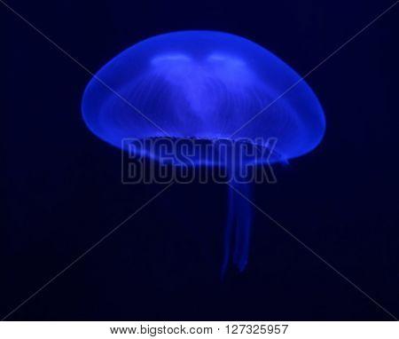 Dark Blue Jellyfish Glowing In The Dark