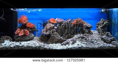 Exotic Marine Aquarium Coral Reef Environment With Pink Actinia