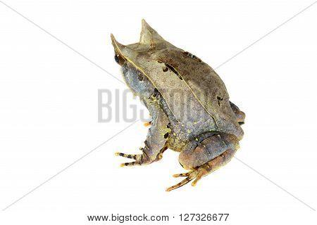 The Long-nosed Horned Frog Megophrys Nasuta Isolated On White