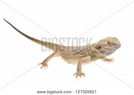 Central Bearded Dragon Pogona Vitticep Isolated Over White