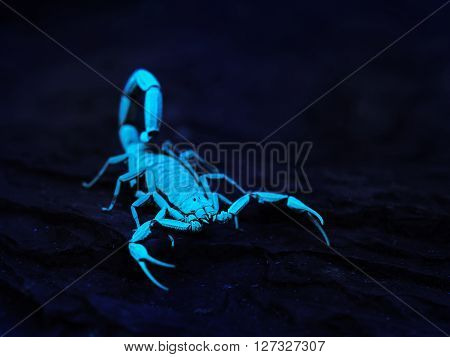 Bright Blue Scorpion Centruroides Gracilis Glowing Under Uv Light Over Black Background