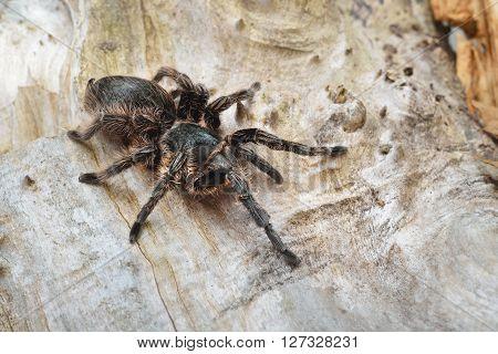 Birdeater Curlyhair Tarantula Spider Brachypelma Albopilosum In Natural Forest Environment. Black Ha