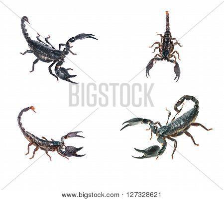 Large Black Scorpion Heterometrus Laoticus And Scorpion Pandinus Imperator Isolated On White