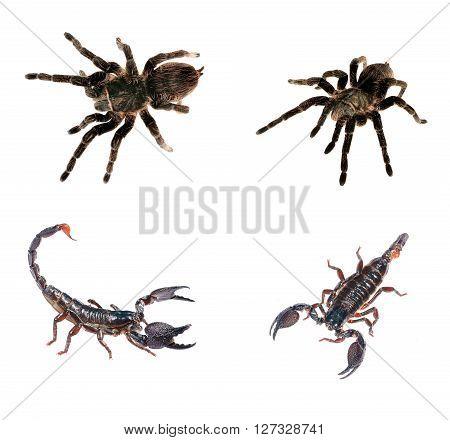 Arachnid Compilation. Black Curly-hair Tarantula Brachypelma Albopilosum And Scorpion Pandinus Imper