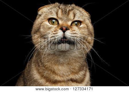 Close-up Portrait of Weird drank Scottish fold Cat Isolated on Black Background