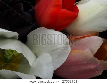 Tulips closeup low key in white pink and purple
