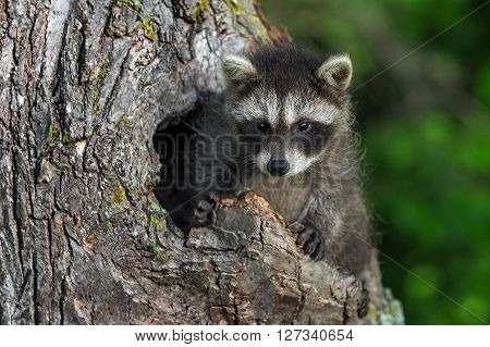 Young Raccoon (Procyon lotor) Sits Up in Knothole - captive animal