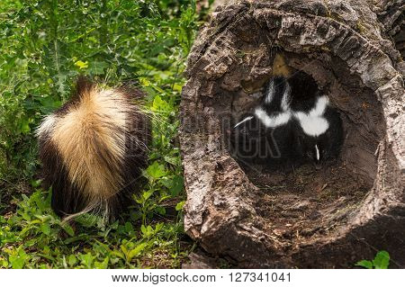 Baby Striped Skunks (Mephitis mephitis) Mother Tail Forward - captive animals