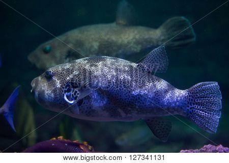 Stellate puffer (Arothron Stellatus), also known as the starry toadfish. Wild life animal.