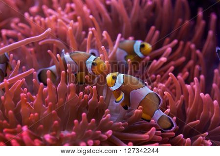 Ocellaris clownfish (Amphiprion ocellaris) swimming in the magnificent sea anemone (Heteractis magnifica). Wild life animal.  poster