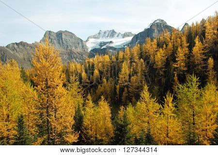 Picture of the yellow larches at Larch Valley in Banff national park,Alberta,Canada.