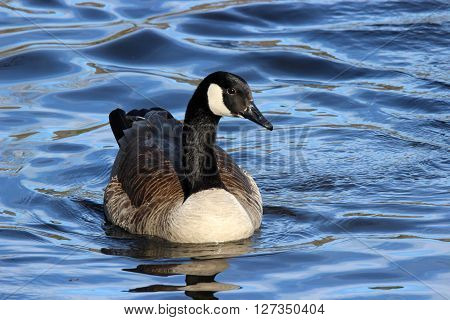 A Canada Goose (Branta canadensis) swimming on blue water.